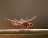 dragonflies_Panama002