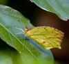 butterflies_Panama031