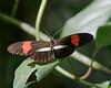 butterflies_Panama036