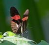 butterflies_Panama035