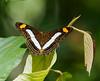 butterflies_Panama018