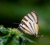 butterflies_Panama012