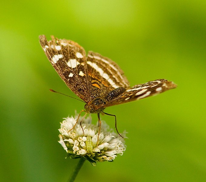 butterflies_Panama007