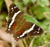 butterflies_Panama027