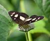 butterflies_Panama010