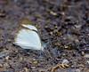 butterflies_Panama038