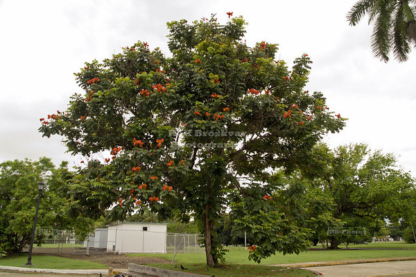 Tropical Tree on Amador Causeway, Panama City, Panama