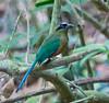 blue_crowned_motmot_Panama009