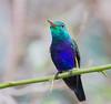 violet_bellied_HB_Panama020