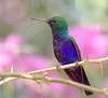 violet_bellied_HB_Panama031