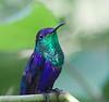 violet_bellied_HB_Panama032