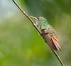 rufours_tailed_Panama059