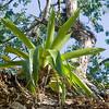 epiphytes_Panama102