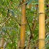 bamboo_Panama001