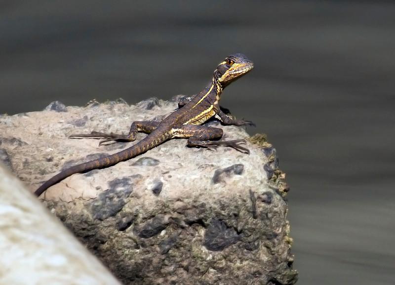 Jesus lizard,Barro Colorado