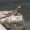 Jesus lizard,Barro Colorado