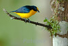 Yellow-crowned Euphonia, Canopy Lodge, Panama 2010