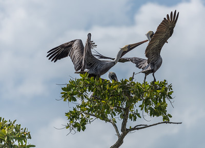 Brown Pelicans ... I think