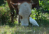Cattle and Cattle Egret, Panama 2010