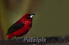 Crimson-backed Tanager, Canopy Lodge, Panama 2010