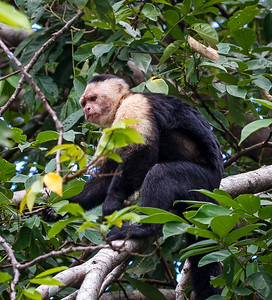 Mono Cara Blanca aka White Face Monkey on an island along the Panama Canal.