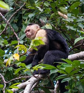 Mono Cara Blanca aka White Face Monkey on an island along the Panama Canal.