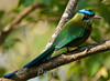 Blue-crowned Motmot, Panama 2010