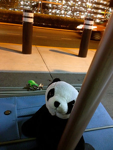 Panda hanging with his luggage at Brisbane airport for some fresh air