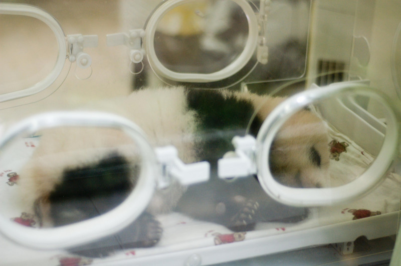 Baby panda in an incubator. Check the little paw pads.