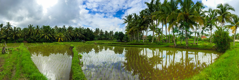Rice paddy in Ubud