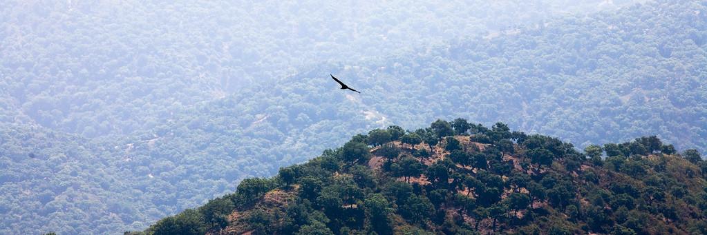 Griffon vulture over cork oak forest, Gaucin, Spain
