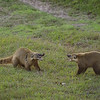 Two coatis fighting