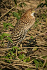 Rufescent tiger-heron (immature)
