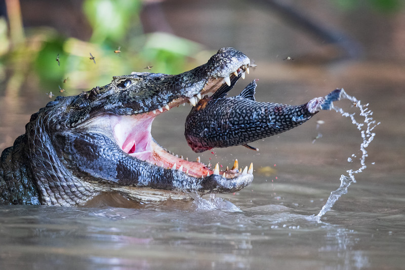 Caiman Playing With Lunch