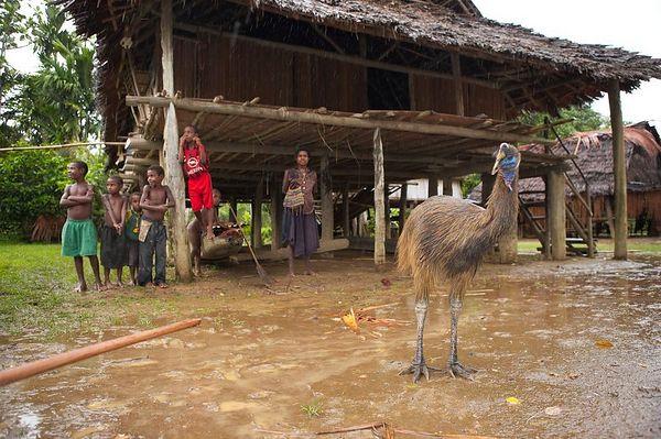 A pet cassowary