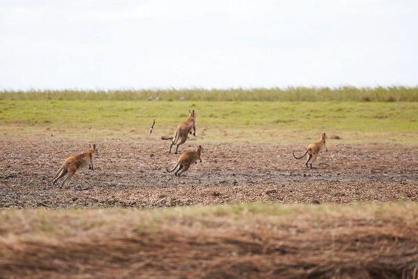 Wallabies run away as we approach