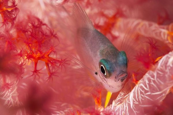A small damsel hides next to a soft coral