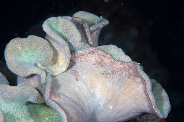 Flatworms extend sticky hunting strands from the safety of a host leather coral