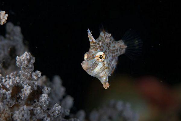 A tiny filefish