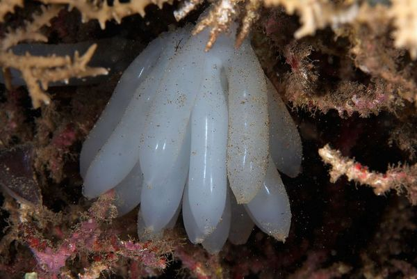 Squid eggs nestled inside a coral patch
