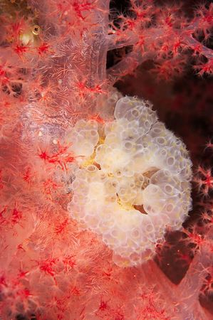 Soft coral, tunicates, and hiding fish
