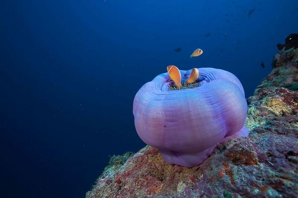 A closed-up anemone with anemonefish