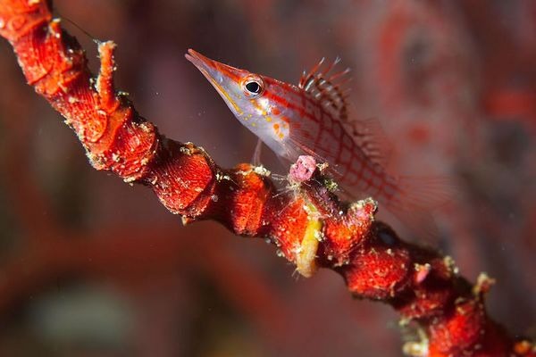 Long-nose hawkfish and gorgonian