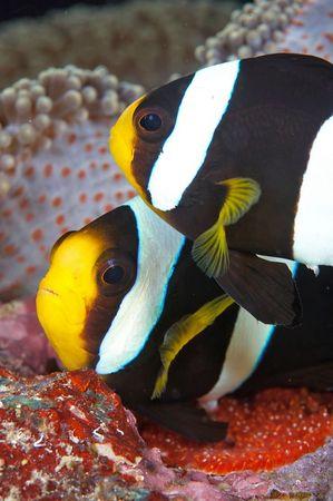 Anemonefish aerate egs