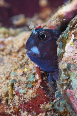 A blenny peeks out from a shell
