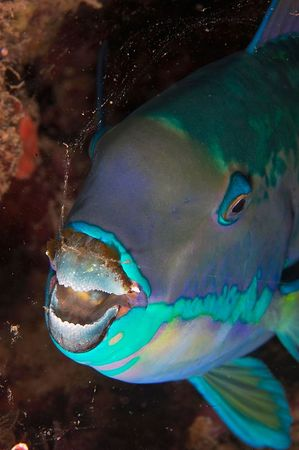 Parrotfish hiding in its mucus membrane, at night
