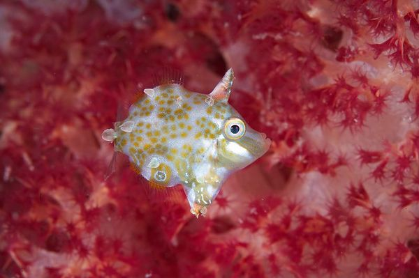 A tiny filefish in front of a colorful soft coral
