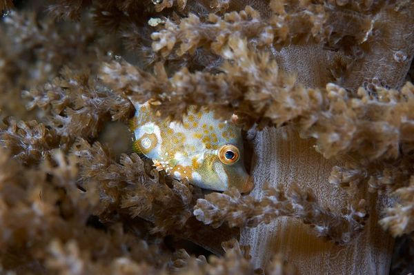 This filefish holds on to a coral at night, with its mouth