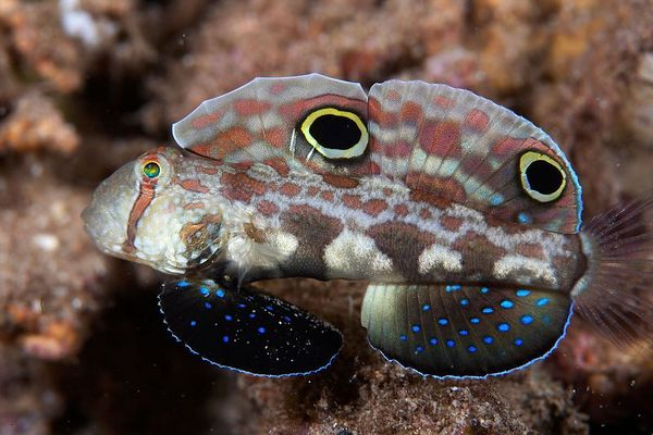Twin-spot or crab-eyed goby