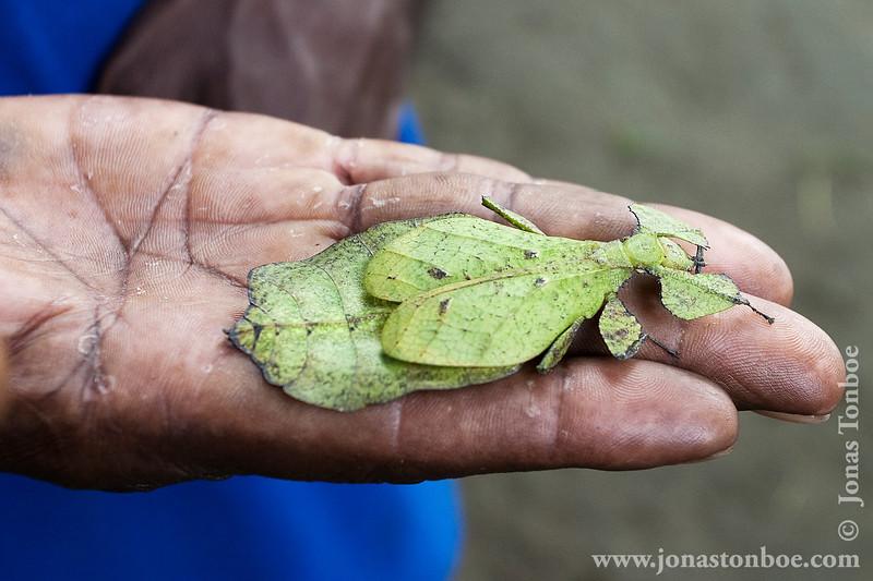 Papua New Guinea. East Sepik. Mindimbit I village: Insect camouflaged as a leaf